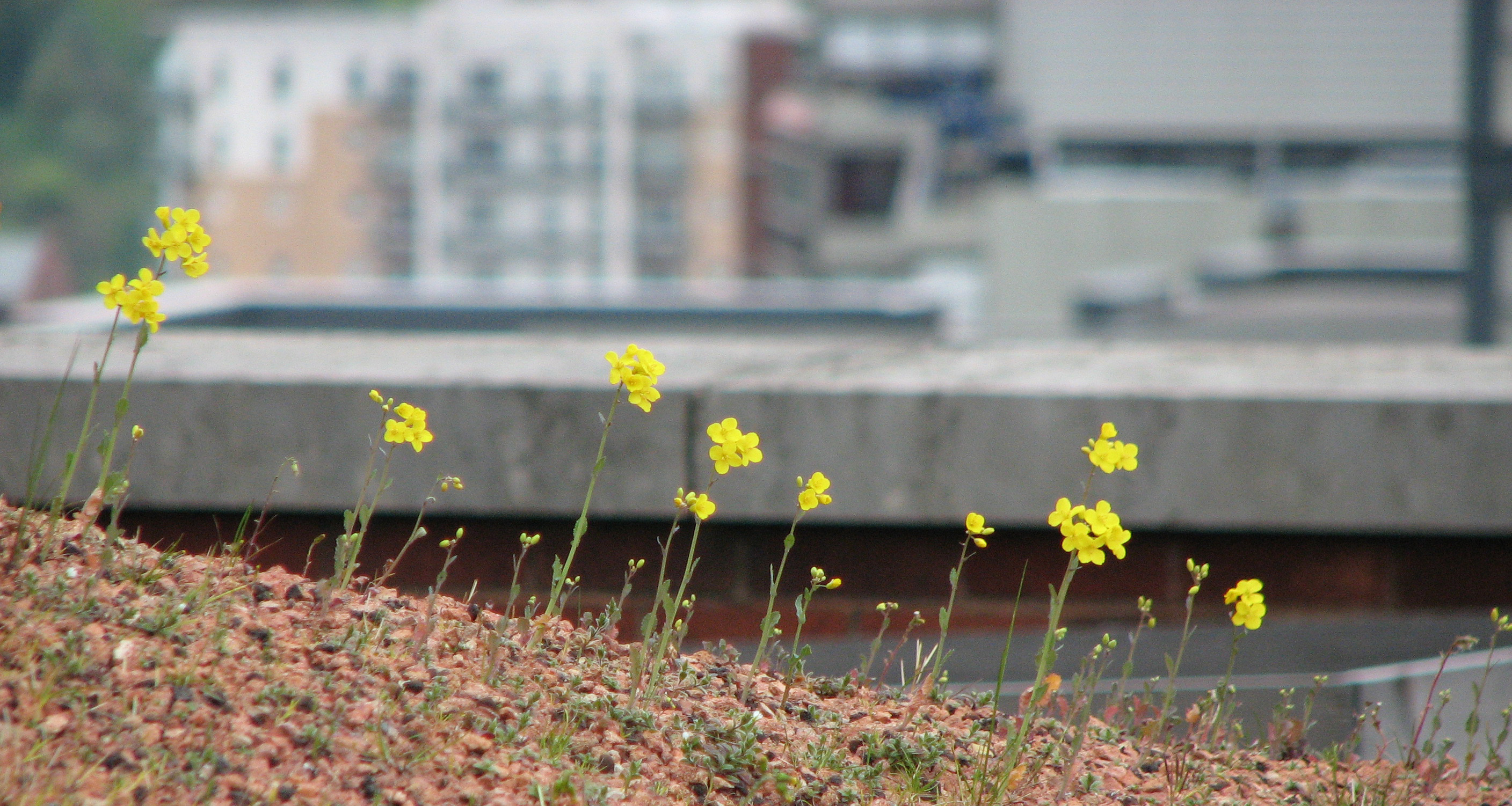Green roof in Sheffield
